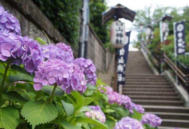 白山神社,紫陽花